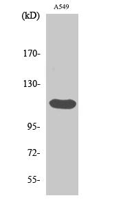 Fig.2. Western Blot analysis of A549 cells using Bek Polyclonal Antibody.