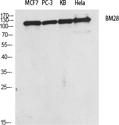 Fig.1. Western Blot analysis of various cells using BM28 Polyclonal Antibody diluted at 1:2000.