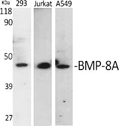 Fig.1. Western Blot analysis of various cells using BMP-8A Polyclonal Antibody.