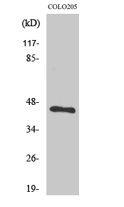 Fig.2. Western Blot analysis of COLO205 cells using BMP-8A Polyclonal Antibody.