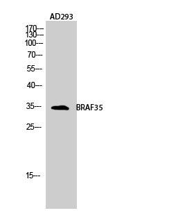 Fig.2. Western Blot analysis of AD293 cells using BRAF35 Polyclonal Antibody diluted at 1:2000.