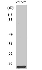 Fig.2. Western Blot analysis of HeLa cells using Brp44L Polyclonal Antibody.