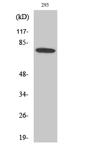 Fig.2. Western Blot analysis of 293 cells using Btk Polyclonal Antibody diluted at 1:500.