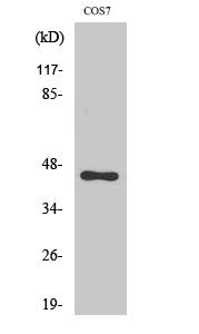 Fig. Western Blot analysis of various cells using C/EBP α Polyclonal Antibody.