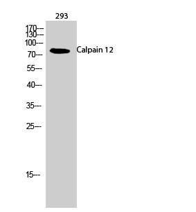 Fig.2. Western Blot analysis of 293 cells using Calpain 12 Polyclonal Antibody.