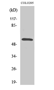 Fig. Western Blot analysis of various cells using CaMKIIβ/γ Polyclonal Antibody.