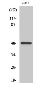 Fig. Western Blot analysis of various cells using Casein Kinase Iγ1 Polyclonal Antibody.