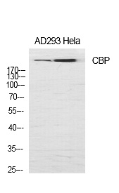 Fig.1. Western Blot analysis of various cells using CBP Polyclonal Antibody diluted at 1:1000.