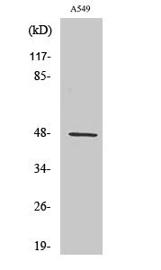 Fig. Western Blot analysis of various cells using CCK-BR Polyclonal Antibody.