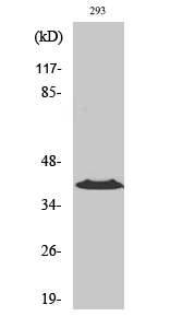 Fig. Western Blot analysis of various cells using CCRL1 Polyclonal Antibody diluted at 1:1000.