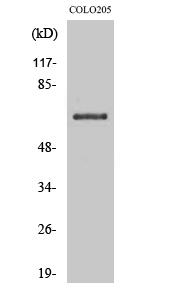 Fig. Western Blot analysis of various cells using CD108 Polyclonal Antibody.