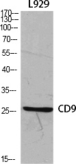 Fig.1. Western Blot analysis of various cells using CD9 Polyclonal Antibody diluted at 1:1000.