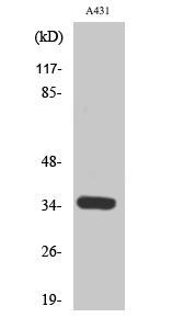 Fig. Western Blot analysis of various cells using Cdk2/Cdc2 Polyclonal Antibody.
