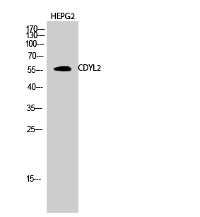 Fig.2. Western Blot analysis of HEPG2 cells using CDYL2 Polyclonal Antibody diluted at 1:1000.