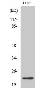 Fig. Western Blot analysis of various cells using Cerebellin 2 Polyclonal Antibody.