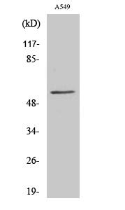 Fig. Western Blot analysis of various cells using CHST2 Polyclonal Antibody.