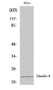 Fig.1. Western Blot analysis of various cells using Claudin-4 Polyclonal Antibody diluted at 1:2000.