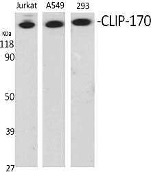 Fig.1. Western Blot analysis of various cells using CLIP-170 Polyclonal Antibody.