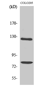 Fig. Western Blot analysis of various cells using COL1A2 Polyclonal Antibody diluted at 1:1000.