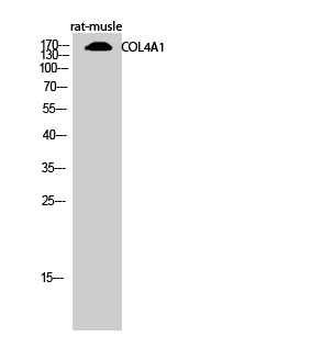 Fig.2. Western Blot analysis of rat-musle cells using COL4A1 Polyclonal Antibody diluted at 1:500.