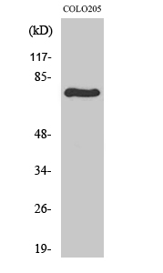 Fig. Western Blot analysis of various cells using c-Rel Polyclonal Antibody.
