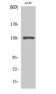 Fig. Western Blot analysis of various cells using CRSP130 Polyclonal Antibody.