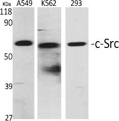 Fig.1. Western Blot analysis of various cells using c-Src Polyclonal Antibody diluted at 1:2000.