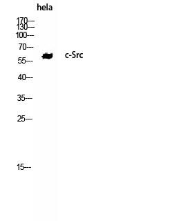 Fig.3. Western Blot analysis of hela using c-Src Polyclonal Antibody. Antibody was diluted at 1:2000.