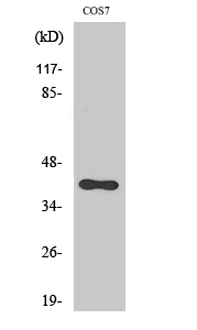 Fig. Western Blot analysis of various cells using CXCR-7 Polyclonal Antibody diluted at 1:2000.