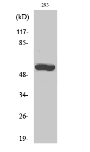 Fig.2. Western Blot analysis of 293 cells using CYP19A1 Polyclonal Antibody diluted at 1:1000.