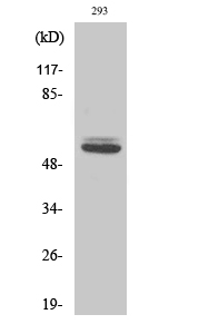 Fig.2. Western Blot analysis of 293 cells using Cytokeratin 8 Polyclonal Antibody diluted at 1:2000.