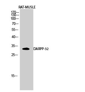 Fig.2. Western Blot analysis of RAT-MUSLE cells using DARPP-32 Polyclonal Antibody diluted at 1:500.