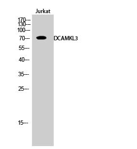 Fig.2. Western Blot analysis of Jurkat cells using DCAMKL3 Polyclonal Antibody.
