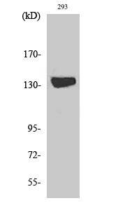Fig. Western Blot analysis of various cells using DGK-ι Polyclonal Antibody diluted at 1:1000.