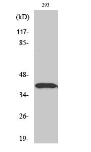 Fig. Western Blot analysis of various cells using Dlx-3 Polyclonal Antibody.