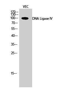 Fig.2. Western Blot analysis of VEC cells using DNA Ligase IV Polyclonal Antibody diluted at 1:500.