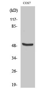 Fig. Western Blot analysis of various cells using DP-2 Polyclonal Antibody.