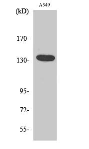 Fig. Western Blot analysis of various cells using DREG Polyclonal Antibody.