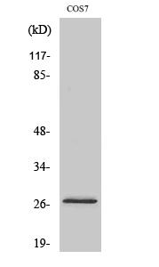 Fig. Western Blot analysis of various cells using DUSP19 Polyclonal Antibody.