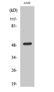 Fig. Western Blot analysis of various cells using Dynactin 2 Polyclonal Antibody diluted at 1:500.