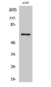 Fig. Western Blot analysis of various cells using E2F-1 Polyclonal Antibody diluted at 1:2000.