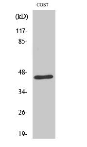 Fig. Western Blot analysis of various cells using E2F-4/5 Polyclonal Antibody.