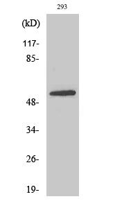 Fig.2. Western Blot analysis of 293 cells using EAAT3 Polyclonal Antibody.