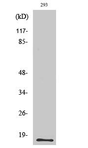 Fig. Western Blot analysis of various cells using ECP Polyclonal Antibody.