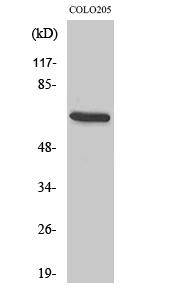 Fig. Western Blot analysis of various cells using EGFL5 Polyclonal Antibody diluted at 1:500.