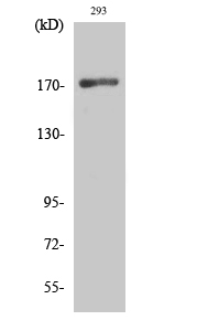 Fig. Western Blot analysis of various cells using EGFR Polyclonal Antibody diluted at 1:1000.