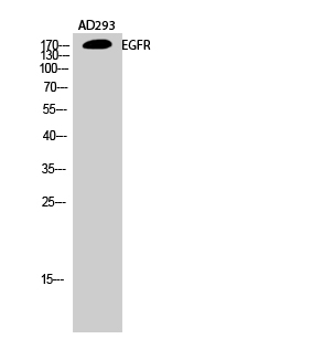 Fig.2. Western Blot analysis of AD293 cells using EGFR Polyclonal Antibody diluted at 1:1000.