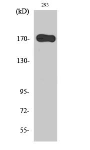 Fig. Western Blot analysis of various cells using EGFR Polyclonal Antibody.