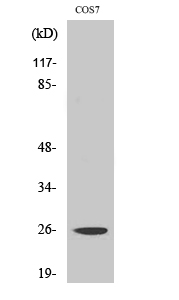 Fig. Western Blot analysis of various cells using eIF4E Polyclonal Antibody diluted at 1:1000.