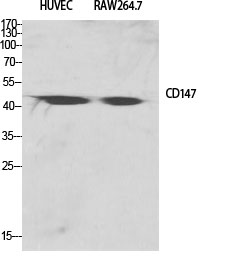 Fig.1. Western Blot analysis of various cells using EMMPRIN Polyclonal Antibody diluted at 1:2000.